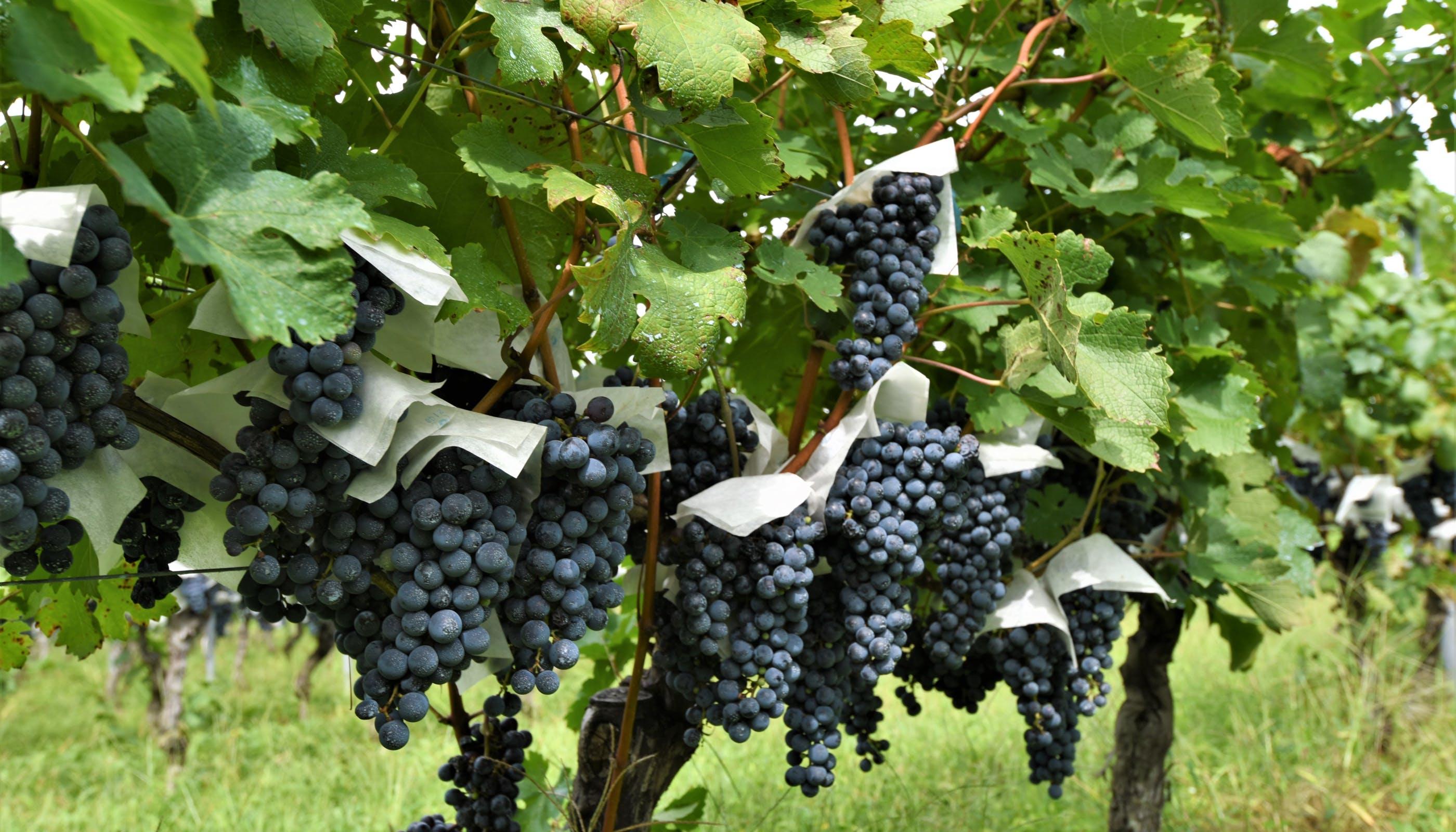 日本ワインを巡る旅~山梨のワイナリー~