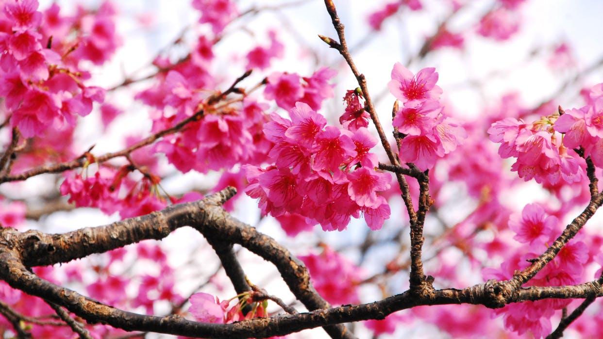 冬の沖縄で日本一早く咲く桜を見る、今帰仁・名護の旅